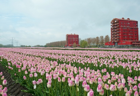 almere: Cultivation of flower bulbs in spring