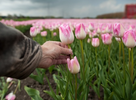 Cultivation of flower bulbs in spring photo