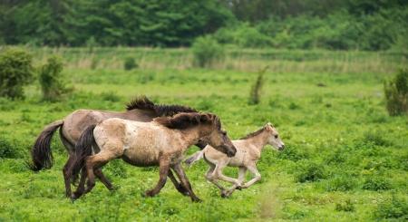 caballo: Ejecución de los caballos salvajes en primavera Foto de archivo