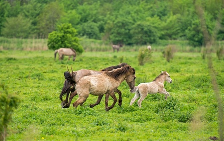 Running wild horses in spring photo