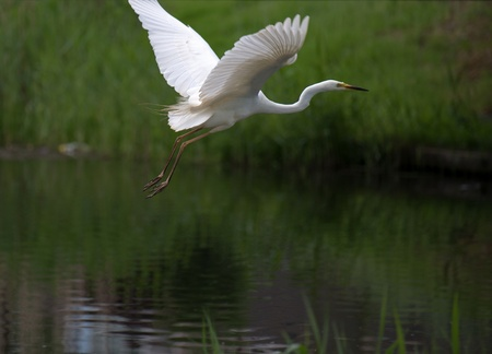 Great white egret flying over a canal Stock Photo - 13594373