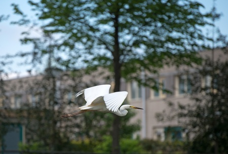 Great white egret flying in a city Stock Photo - 13594374