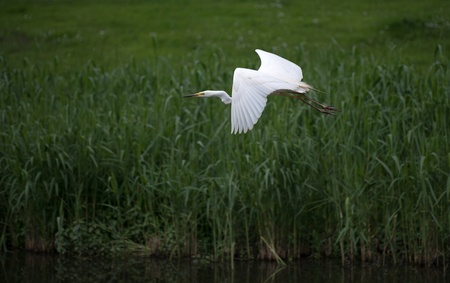 Great white egret flying over a canal Stock Photo - 13594376