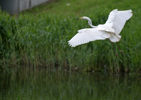 Great white egret flying over a canal Stock Photo - 13594370