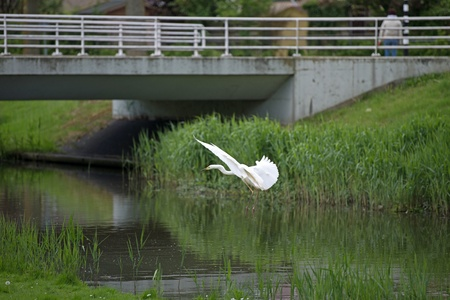 Great white egret flying over a canal Stock Photo - 13583836