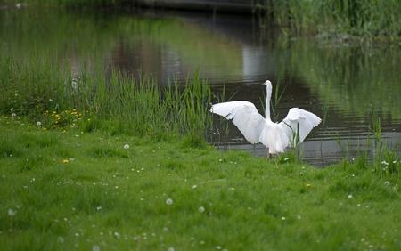 brink: Egret on the brink of flying