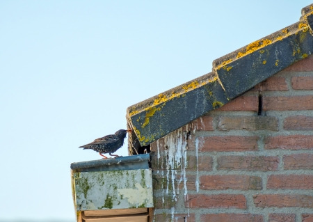 Starling before its nest with food
