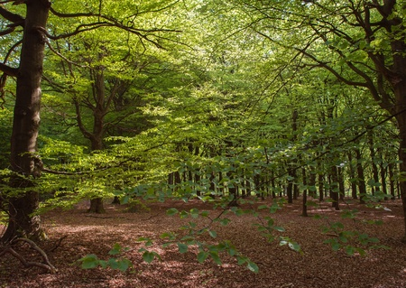 Beech forest in sunlight in spring Stock Photo - 13703735