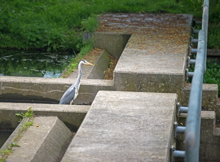 sluice: Grey heron looking for food in a canal