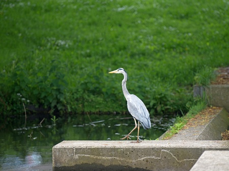 Grey heron looking for food in a canal Stock Photo - 13703721