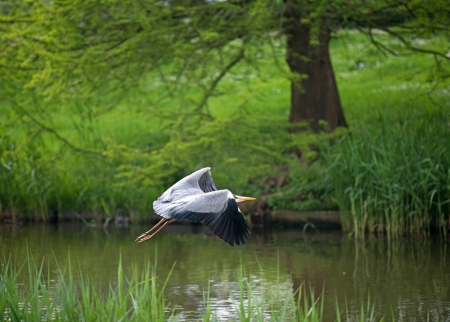Grey heron flying along a canal in spring Stock Photo - 13703718