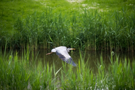 gray herons: Grey heron flying along a canal in spring