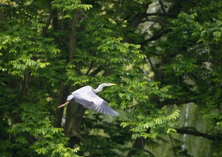 grey heron: Grey heron flying along a canal in spring