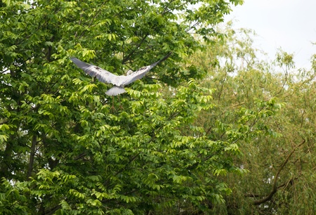 Grey heron flying into a tree in spring Stock Photo - 13703714
