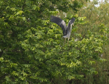 Grey heron flying into a tree in spring Stock Photo - 13703698