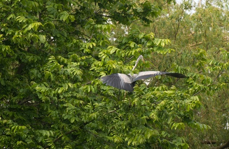 Grey heron flying into a tree in spring Stock Photo - 13703700