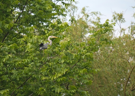 Grey heron sitting in a tree in spring Stock Photo - 13703713