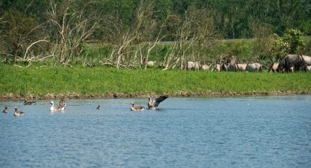 almere: Geese and konik horses in nature