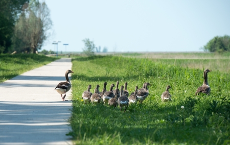 greylag: Geese and goslings walking along a footpath Stock Photo