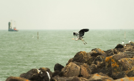 Grey heron fishing in a lake Stock Photo - 13879753