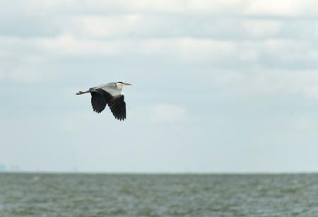 grey heron: Grey heron fishing in a lake
