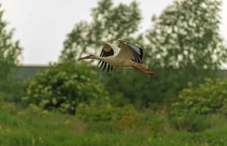 lelystad: Stork flying in nature