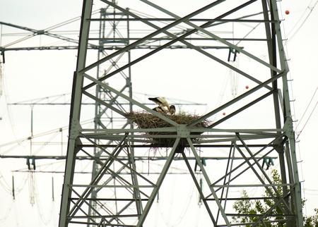 lelystad: Stork nests in high voltage