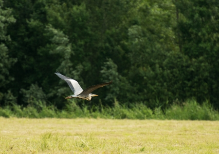 Grey heron in search for food photo