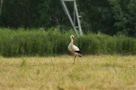 lelystad: White stork looking for food in a field