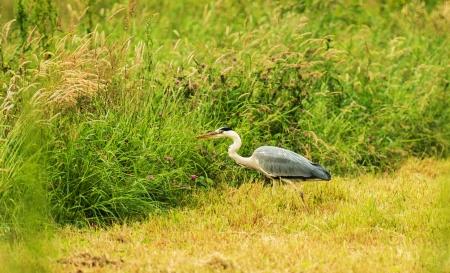 grey heron: Grey heron looking for food in spring