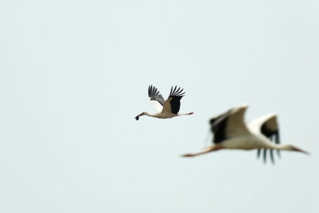 White stork flies with food in its beak photo