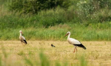 lelystad: White storks looking for food in a field Stock Photo