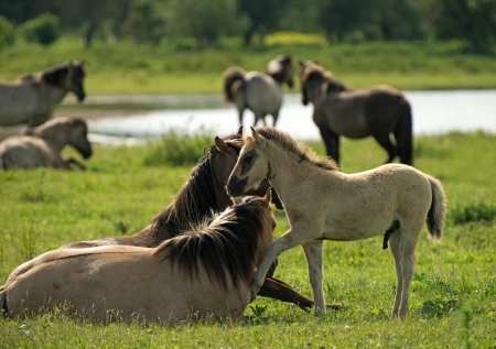 Herd of Konik horses in sunlight Stock Photo - 14117791