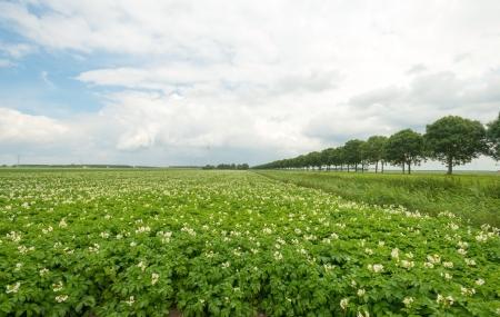 potato tree: Potatoes growing on a field