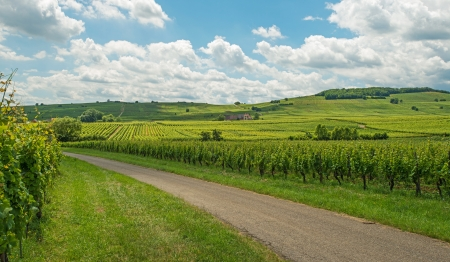 Vineyard in the sunny Alsace  Stock Photo