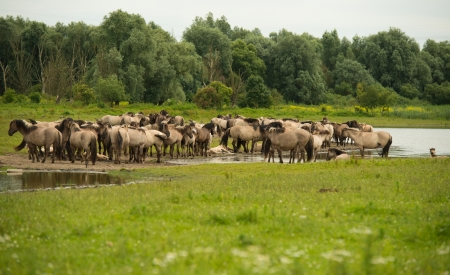 Herd of Konik horses in sunlight photo
