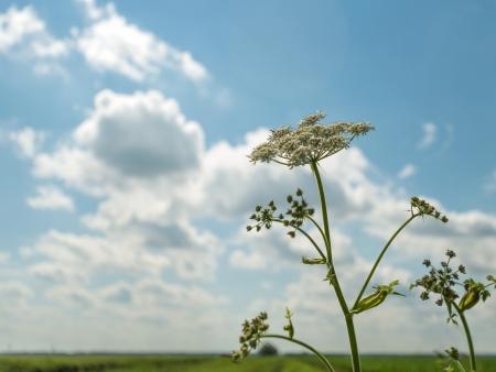 queen anne   s lace: Flower growing in a field in summer