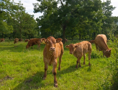 Cattle in sunlight in summer Stock Photo - 14445527