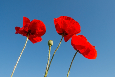 Poppies in a field in summer Stock Photo - 14445529