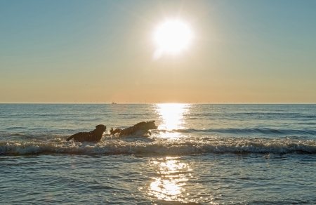 Dogs playing in sea at sunset photo