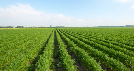 Carrots growing on a field in summer Stock Photo