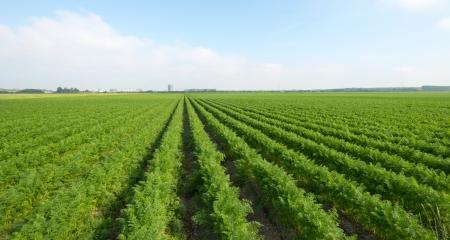 Carrots growing on a field in summer Stockfoto