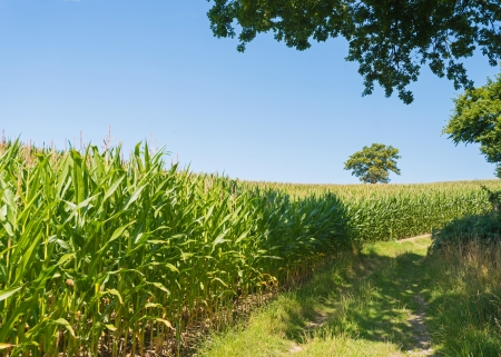 unblemished: Corn growing on a field in summer