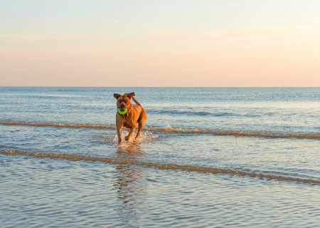Dog running out of the sea photo
