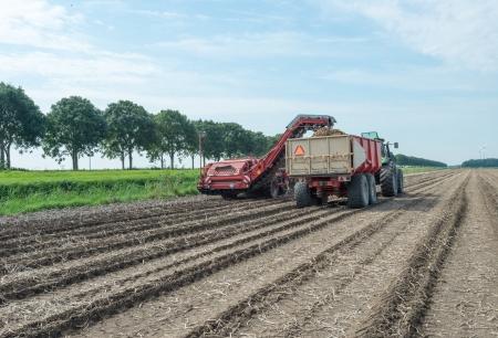 Harvesting potatoes in summer Stockfoto
