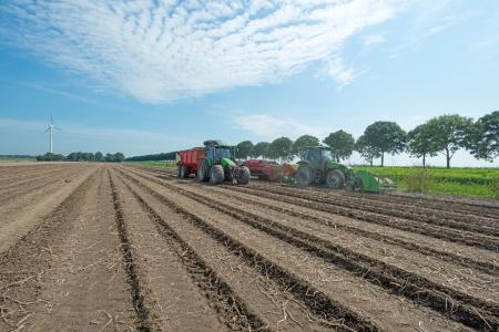 potato field: Harvesting potatoes in summer Stock Photo