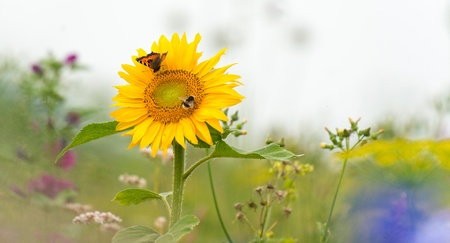 Butterfly on a sunflower in summer