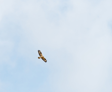 Buzzard flying in the sky in summer photo