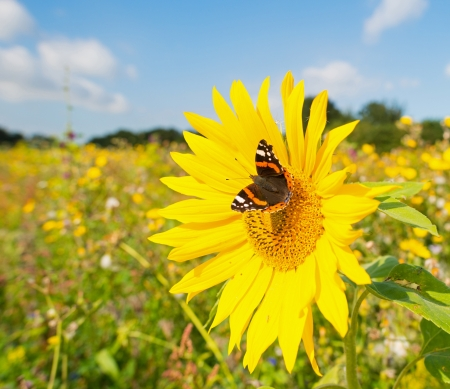 Butterfly on a sunflower  photo