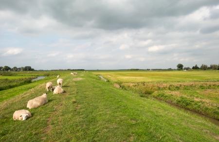 dike: Sheep on a dike in summer Stock Photo